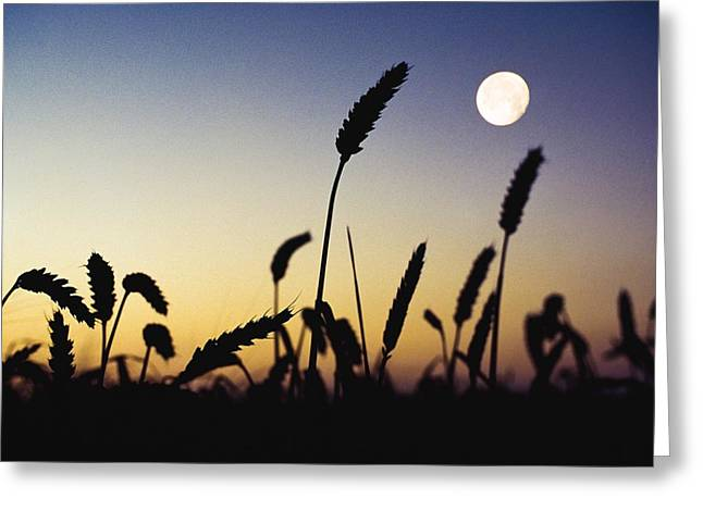 Simple Beauty In Colors Greeting Cards - Wheat Field, Ireland Wheat Field And Greeting Card by The Irish Image Collection
