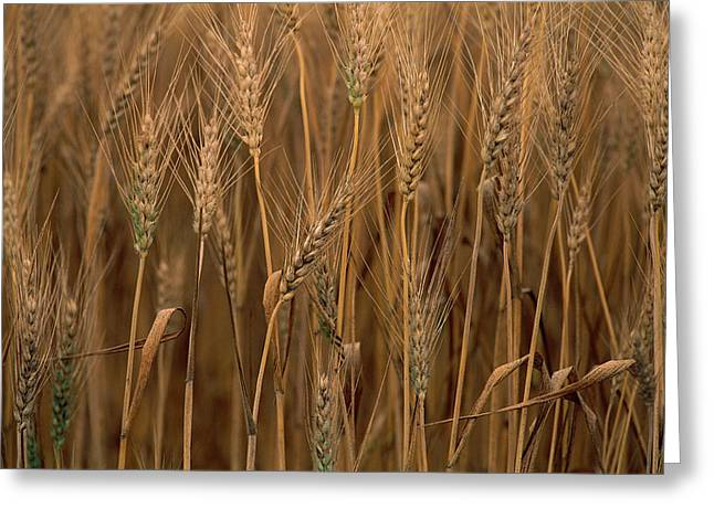 Sauvie Island Greeting Cards - Wheat Triticum Aestivum X Hybrid Greeting Card by Gerry Ellis