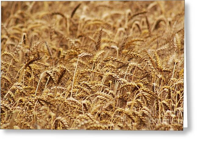 Ready For Harvest Greeting Cards - Wheatfield Greeting Card by Alan Harman