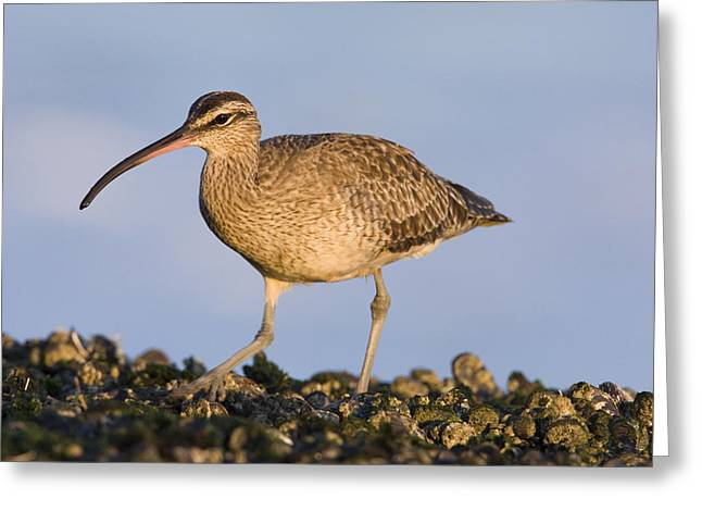 A Natural Bridge Greeting Cards - Whimbrel Foraging Natural Bridges State Greeting Card by Sebastian Kennerknecht