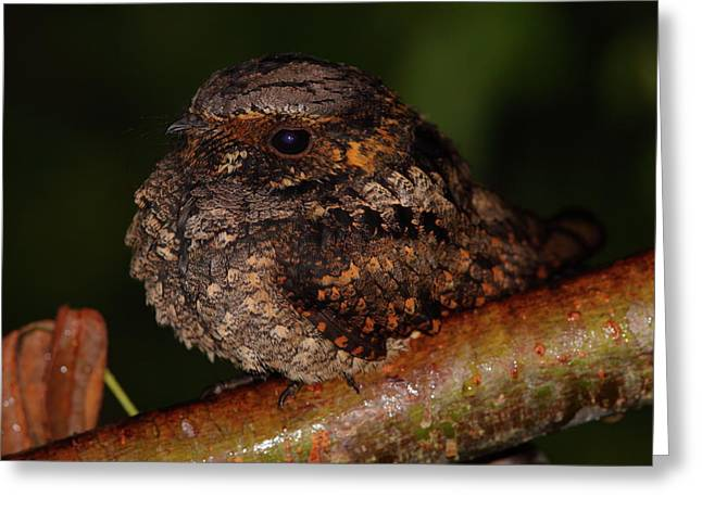 Nightjars Greeting Cards - Whip-poor-will Greeting Card by Bruce J Robinson