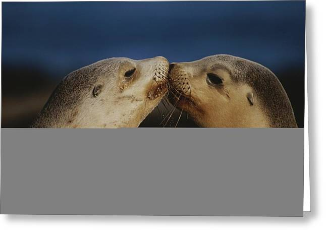 Australian Sea Lion Greeting Cards - Whisker Touch Display Between Two Greeting Card by Jason Edwards