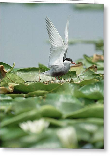 Whiskered Tern Chlidonias Hybridus Greeting Card by Konrad Wothe