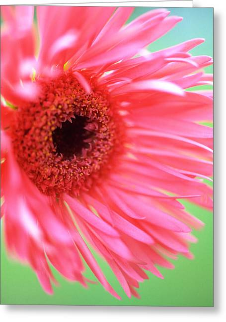 Pink Flower Prints Greeting Cards - Whispy Daisy Greeting Card by Kathy Yates
