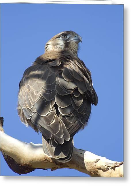 Whistling Kite Greeting Card by Douglas Barnard