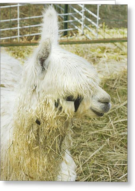Alpaca Greeting Cards - White Alpaca Photograph Greeting Card by Keith Webber Jr