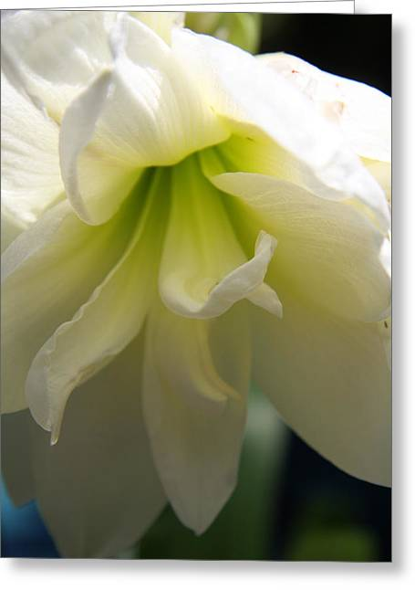 Amarillys Greeting Cards - White Amarillys Close Up Greeting Card by Christiane Schulze Art And Photography