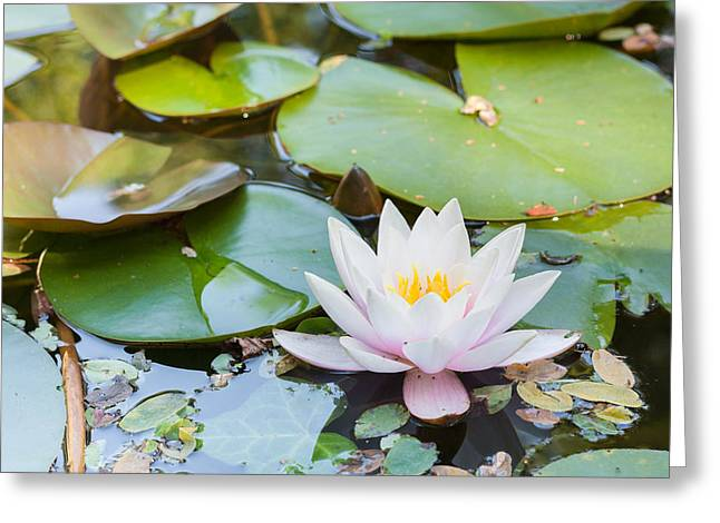Waterlily Stamen Greeting Cards - White and Pink Water Lily Greeting Card by Semmick Photo