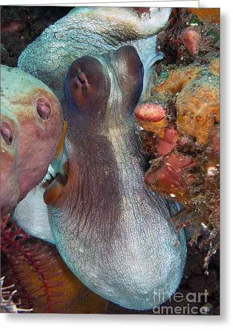 Undersea Photography Greeting Cards - White And Red Octopus Squeezing Greeting Card by Mathieu Meur