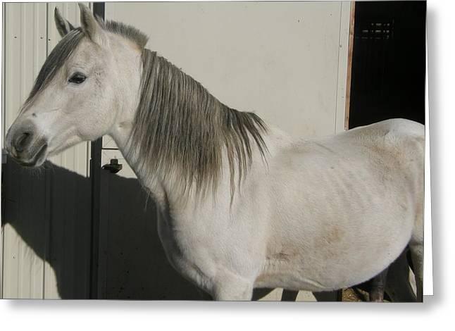 White Arabian Stallion Sunbathing Greeting Card by Burkhard Eichberger