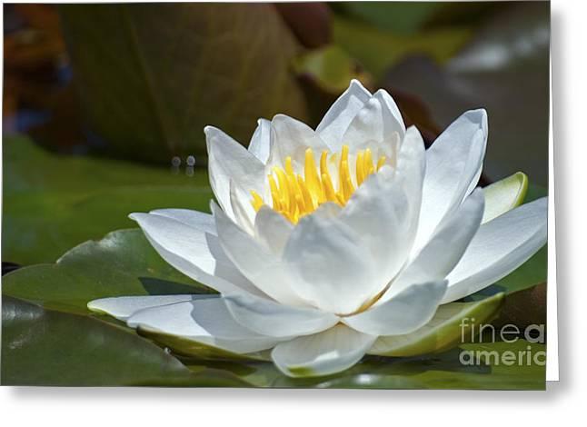 Dal Lake Greeting Cards - Nymphaeaceae.. Greeting Card by Nina Stavlund