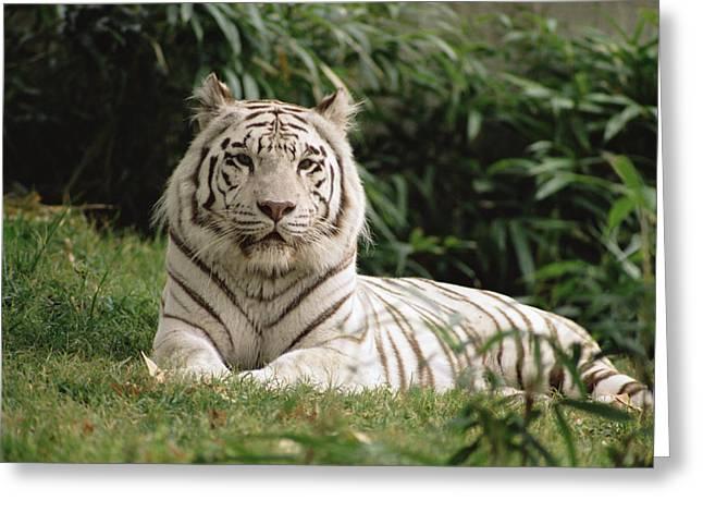 Tigris Greeting Cards - White Bengal Tiger Panthera Tigris Greeting Card by Gerry Ellis