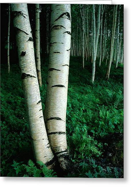 Birch Tree Greeting Cards - White Birch Trees Betula Pendula Crowd Greeting Card by Phil Schermeister