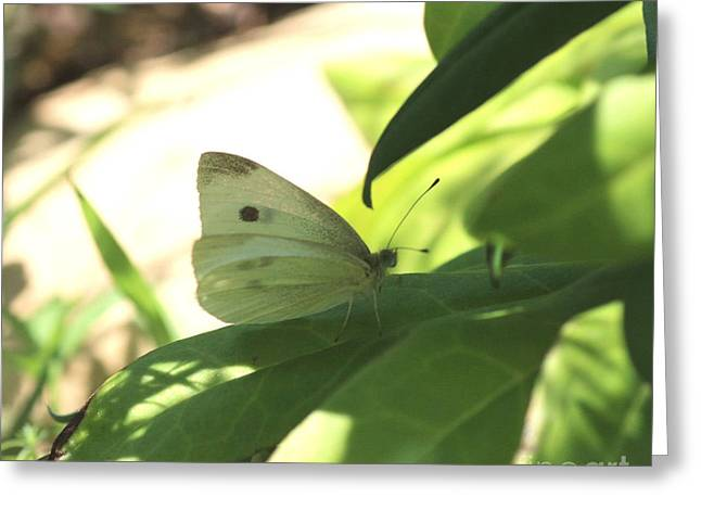 Pieris Rapae Greeting Cards - White Butterfly 2 Greeting Card by Brenda Deem