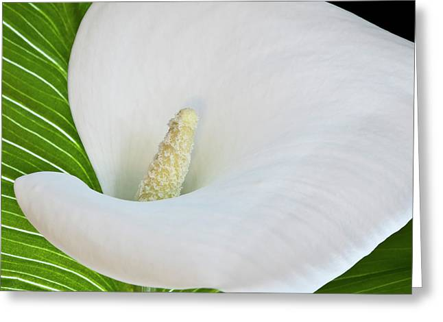 Heiko Koehrer-wagner Greeting Cards - White Calla Greeting Card by Heiko Koehrer-Wagner