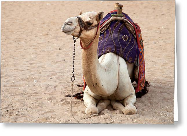 Egyptian Photographs Greeting Cards - White camel Greeting Card by Jane Rix