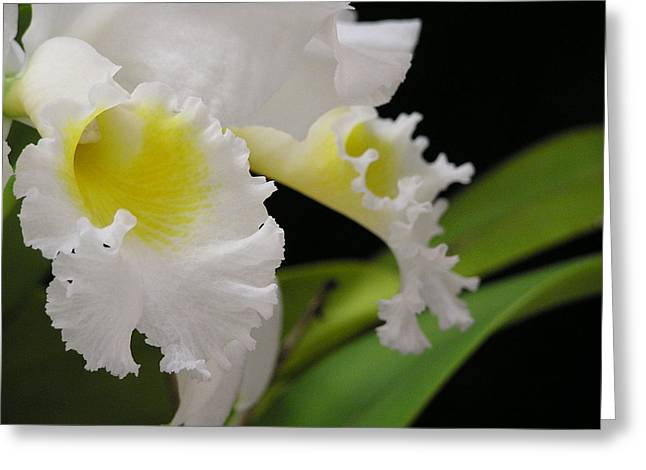 Cattleya Greeting Cards - White Cattleya Close-Up Greeting Card by Andrea Drake
