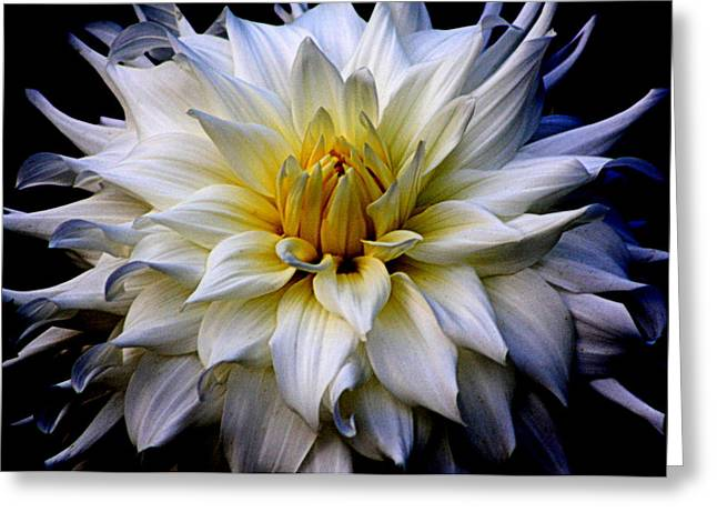 Floral Photographs Greeting Cards - White Chrysanthemum Greeting Card by Tam Graff