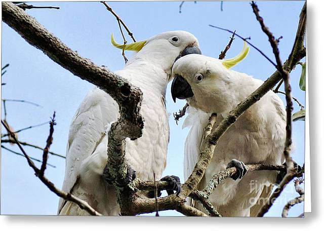 Australian Native Bird Greeting Cards - White Cockatoos Greeting Card by Kaye Menner