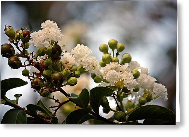 Kayecee Spain Greeting Cards - White Crape Myrtle- Fine Art Greeting Card by KayeCee Spain
