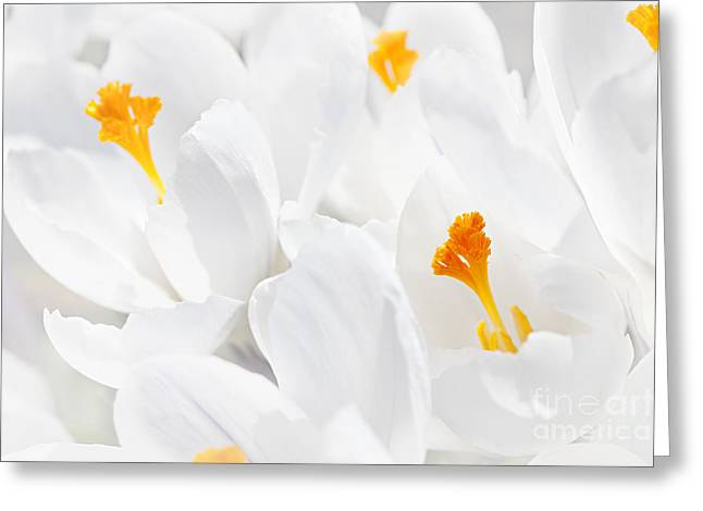 Stamen Greeting Cards - White crocus blossoms Greeting Card by Elena Elisseeva