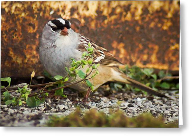 Feeding Birds Greeting Cards - White Crowned Sparrow Greeting Card by Bill Pevlor