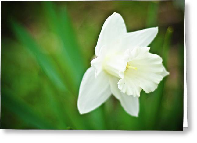 Spring Bulbs Greeting Cards - White Daffodil Greeting Card by Jessica Leizerman