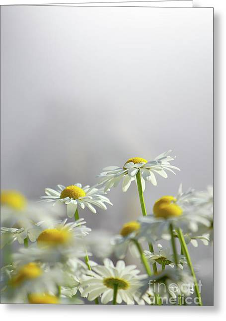 Germinate Greeting Cards - White Daisies Greeting Card by Carlos Caetano