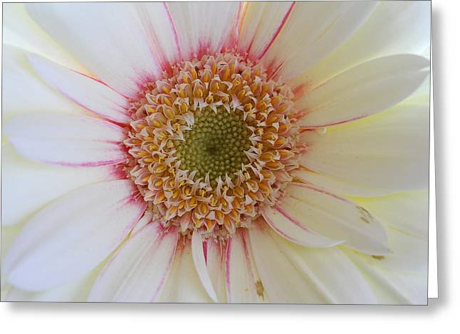Rustic Photo Greeting Cards - White Daisy Portrait Greeting Card by Juergen Roth