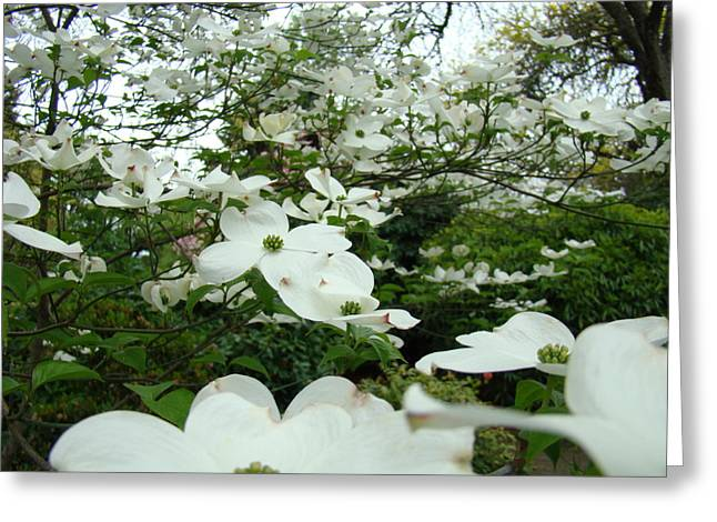 Baslee Troutman Greeting Cards - White Dogwood Flowers 6 Dogwood Tree Flowers Art Prints Baslee Troutman Greeting Card by Baslee Troutman Art Print Collections