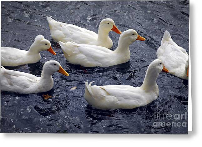 White Ducks Greeting Card by Elena Elisseeva