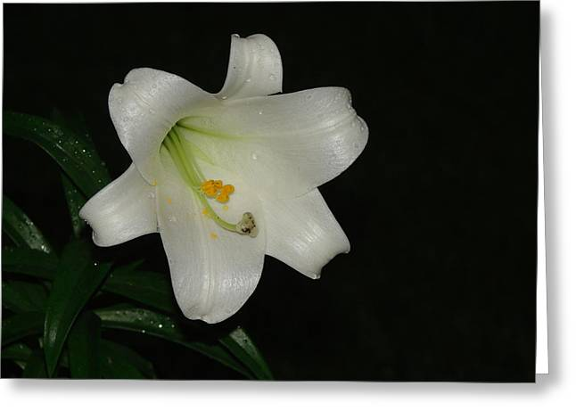 Easter Pyrography Greeting Cards - White Easter Lily Greeting Card by Gaynor Perkins