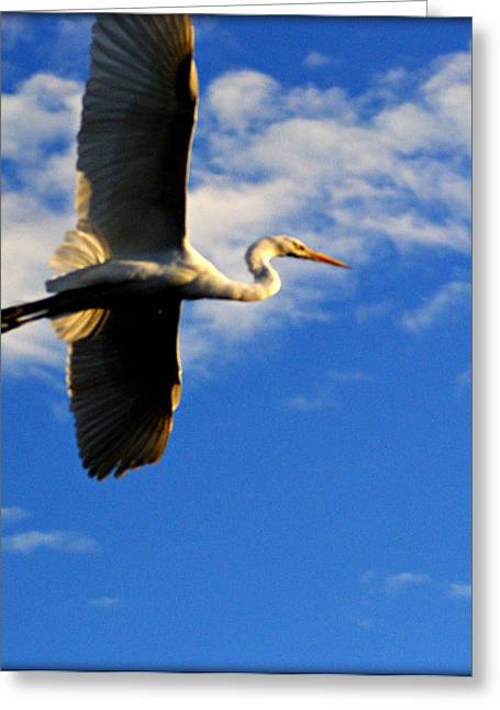 White Egret Full Flight Greeting Card by John Wright