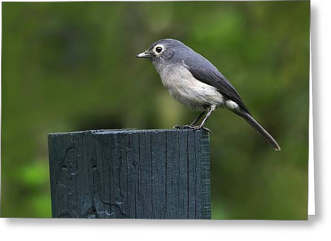 White-eyed Slaty Flycatcher Greeting Card by Tony Beck