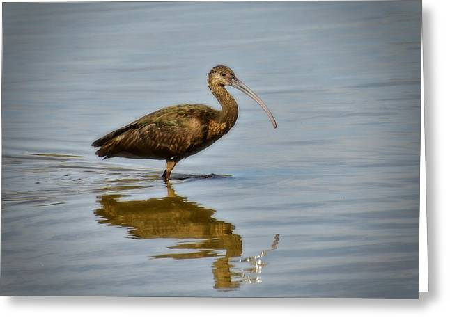 Ibis Greeting Cards - White-Faced Ibis Greeting Card by Saija  Lehtonen
