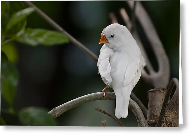 Zebra Finch Greeting Cards - White Finch Greeting Card by Robin Webster