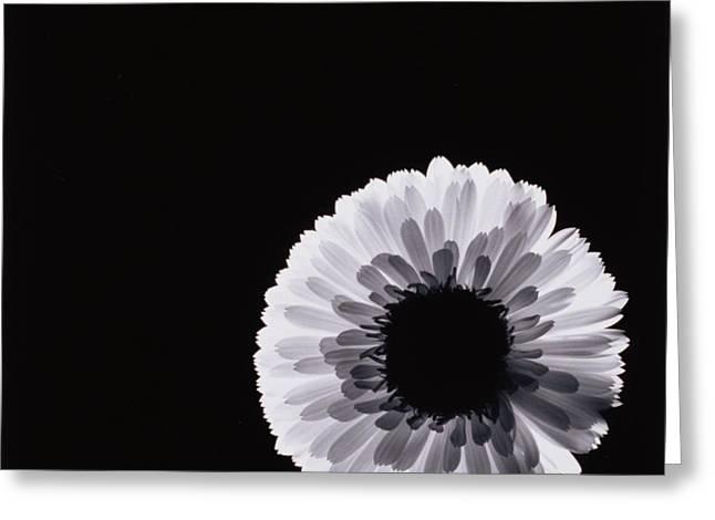 Studio Lighting Greeting Cards - White Flower Greeting Card by Graeme Harris