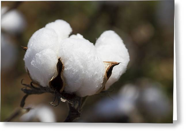 Harvestime Greeting Cards - White Fluffy Cotton Boll Greeting Card by Kathy Clark