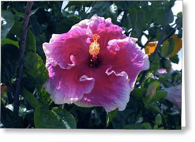 Kevin W. Smith Greeting Cards - White-Frilled Red Hibiscus Greeting Card by Kevin Smith