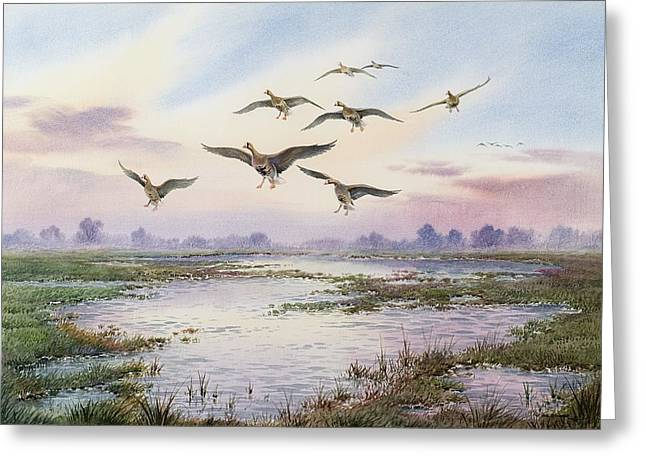 Goose Greeting Cards - White-Fronted Geese Alighting Greeting Card by Carl Donner