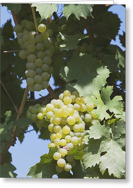 White Grape Greeting Cards - White Grapes On The Vine Greeting Card by Michael Interisano