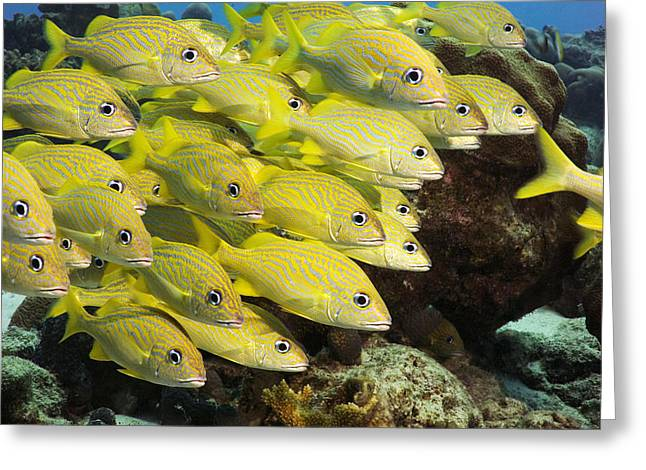 Grunts Photographs Greeting Cards - White Grunt Fish Greeting Card by Peter Scoones