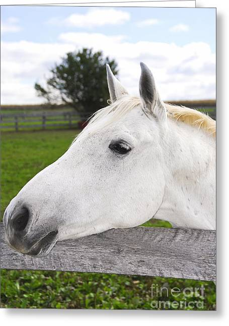 Animals Love Greeting Cards - White horse Greeting Card by Elena Elisseeva