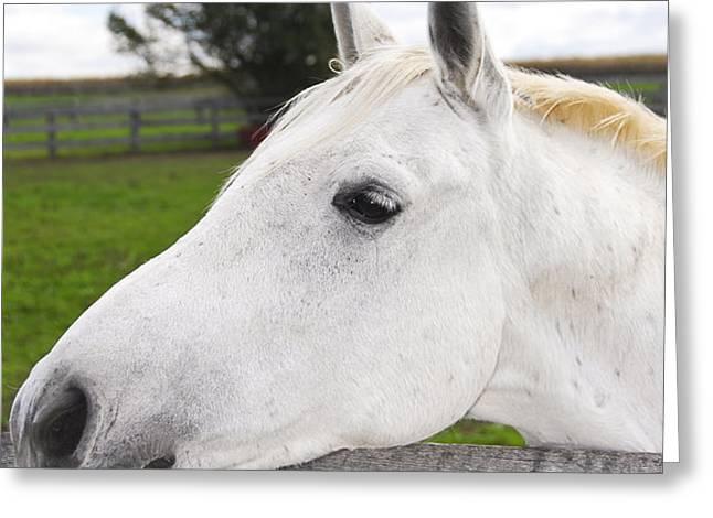 White horse Greeting Card by Elena Elisseeva