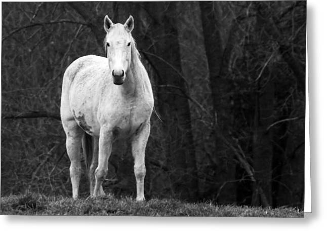 Stoney Creek Greeting Cards - White Horse Greeting Card by Steve Parr