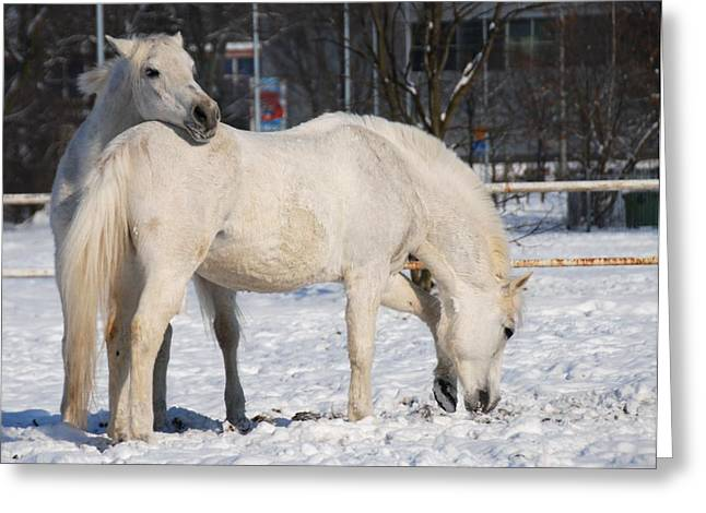 Winter Photos Greeting Cards - White horses in the snow  Greeting Card by Jaroslaw Grudzinski