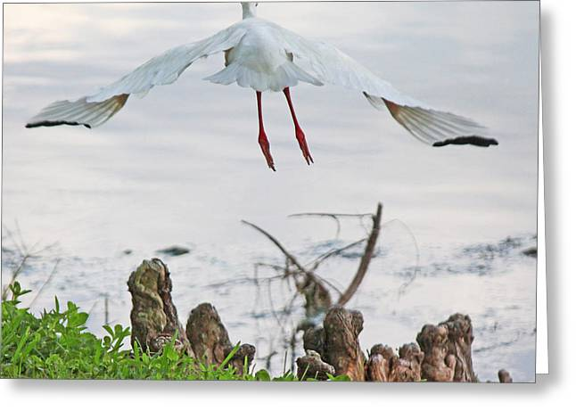 Becky Greeting Cards - White ibis liftoff Greeting Card by Becky Lodes