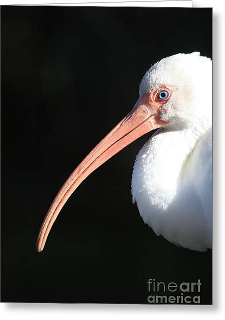 Ibis Greeting Cards - White Ibis Profile Greeting Card by Carol Groenen