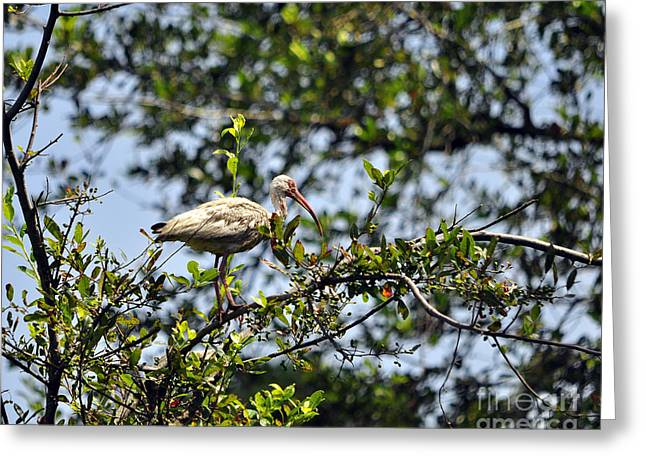 Roost Photographs Greeting Cards - White Ibis Roosting Greeting Card by Al Powell Photography USA