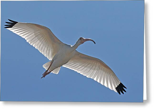 Ibis Greeting Cards - White Ibis Soaring Greeting Card by Alan Lenk